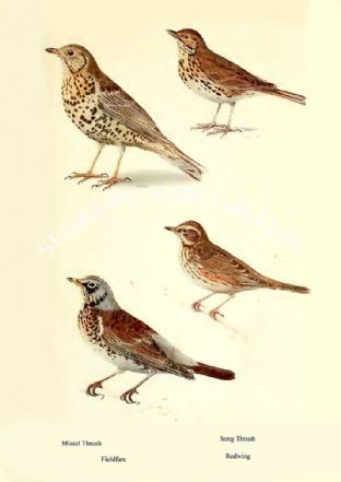 Missel Thrush, Song Thrush, Fieldfare & Redwing